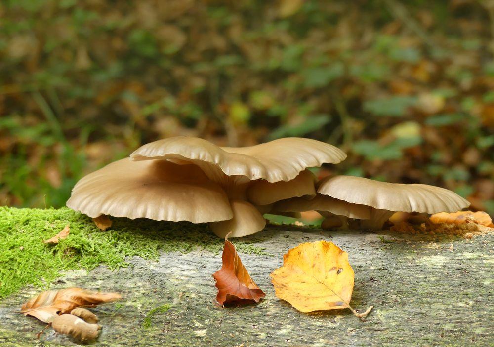 Hübsche flache Pilze