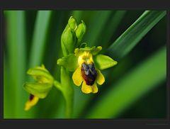 Hübsche Gelbe Ragwurz