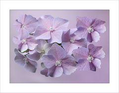 Hübsche Hortensien