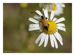 hübsche Käfer