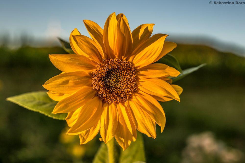 hübsches Sonnenblümchen