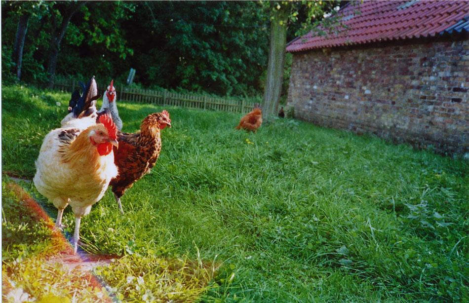 Hühner freilaufend, bis Donnerstag