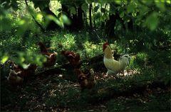 Hühner im Wald