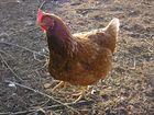 Hühnerblick