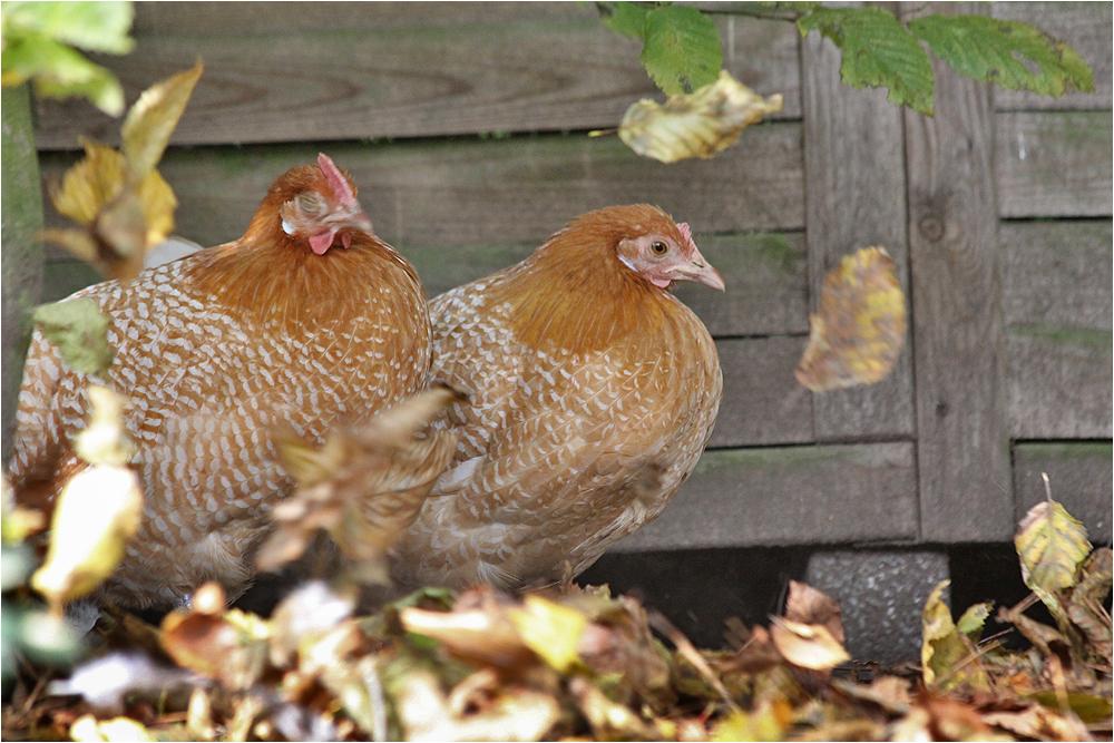 Hühnerherbst