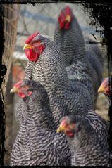 Hühnerhof