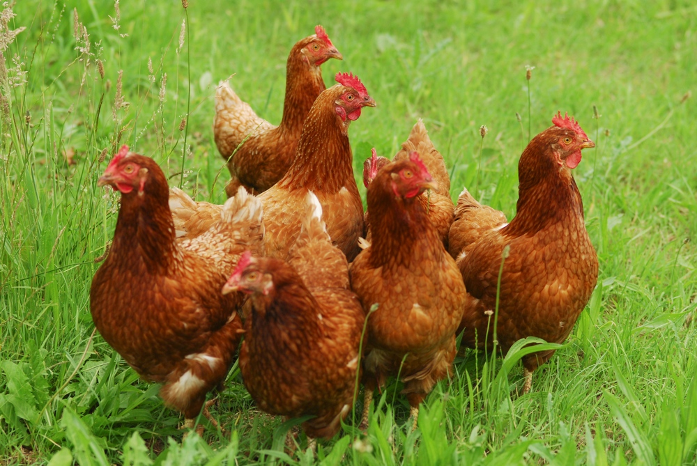 Hühnermeeting...