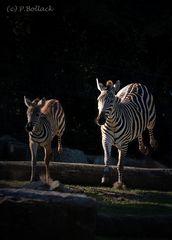hüpfende Zebras