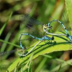 Hufeisen-Azurjungfern [Coenagrion puella] - Paarung