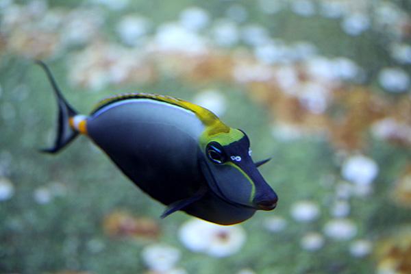 Hufeisen Doktorfisch