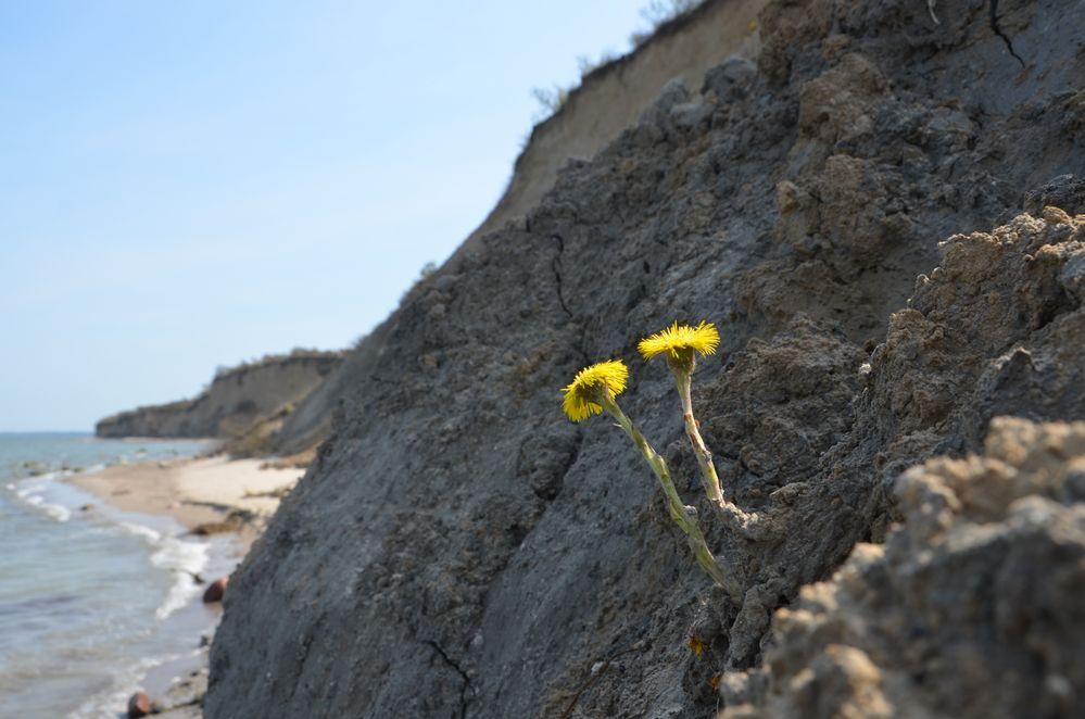 Huflattich an der Steilküste