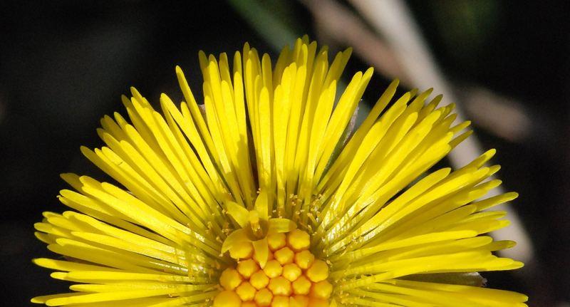 Huflattich-Blüte