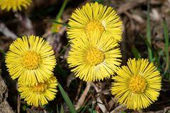 ~ Huflattich - Die Sonnenblume des kleinen Mannes II ~