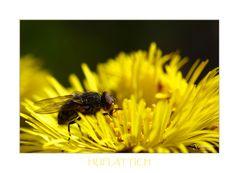 Huflattich Fliege