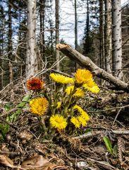 Huflattich im Wald!