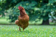 Huhn im Grünen