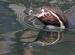Humboldt Pinguin mit Spiegelbild