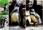 Humboldt-Pinguine bei Hagenbeck