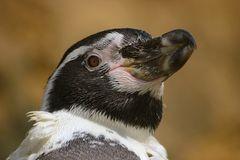 Humboldtpinguin (Spheniscus humboldti)