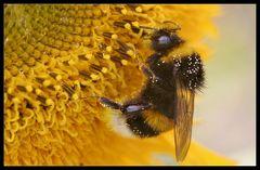 Hummel an den Honigtöpfen - Bumblebee at the honey pots