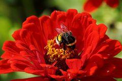 Hummel auf der Blüte