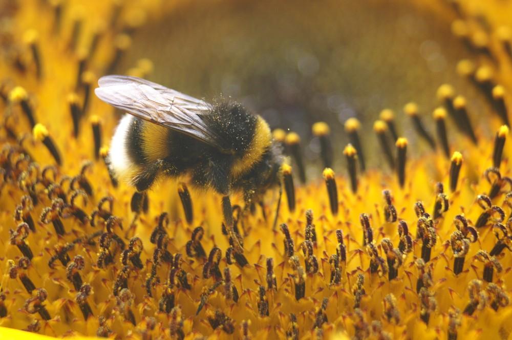 Hummel bei Sonnenblumenmahlzeit