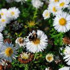 Hummel Blüte