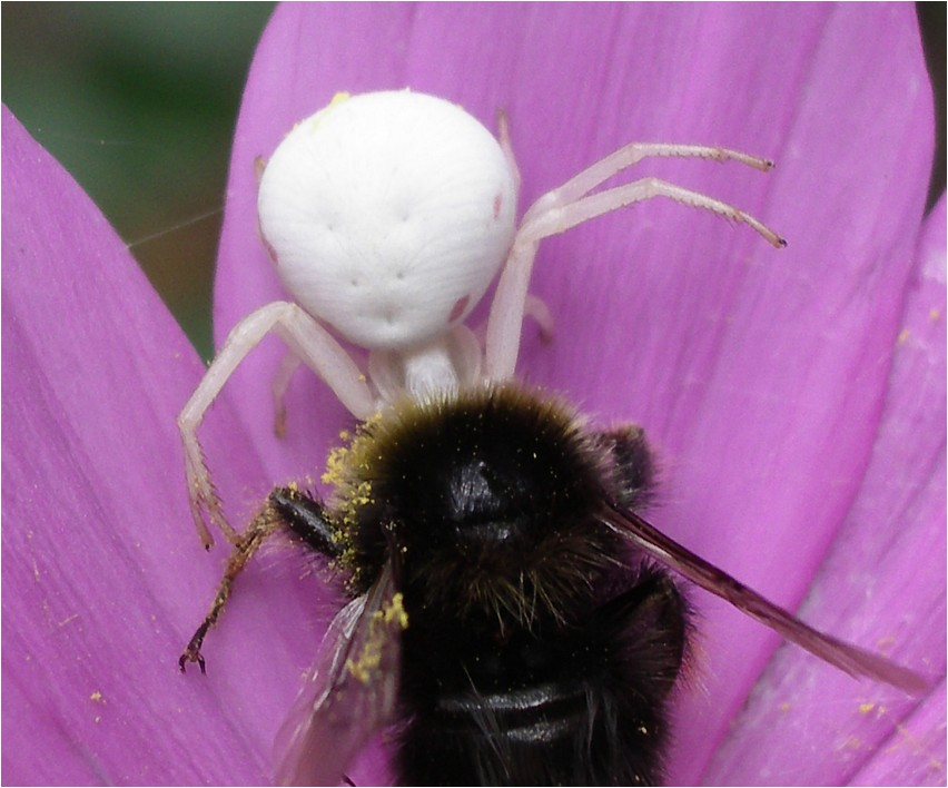 Hummel gegen Spinne II