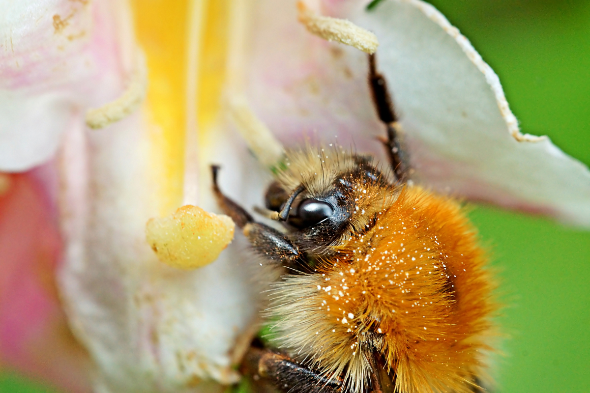 Hummel in der Blüte