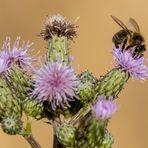 """HUMMEL"" oder doch Biene?"