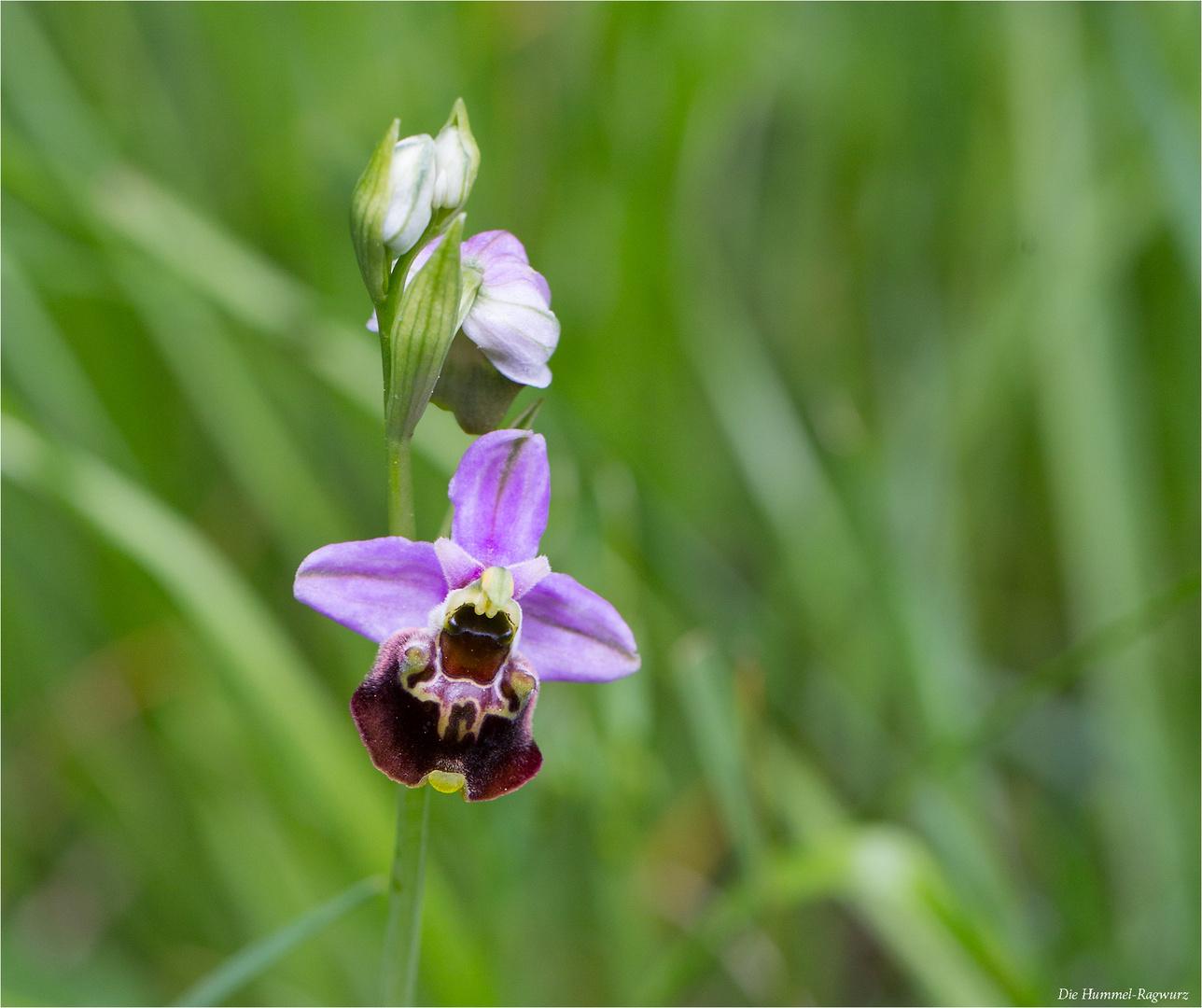 Hummel-Ragwurz (Ophrys holoserica) 41.2