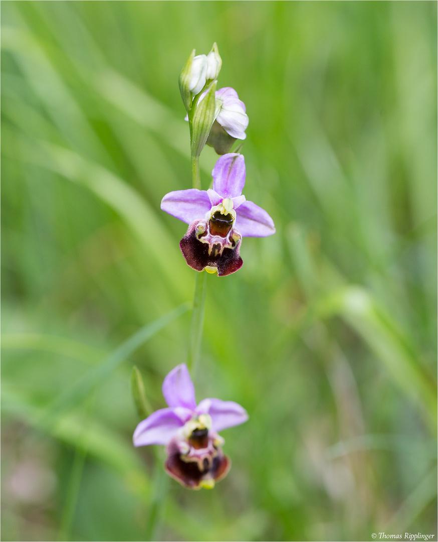 Hummel-Ragwurz (Ophrys holoserica) 46.1