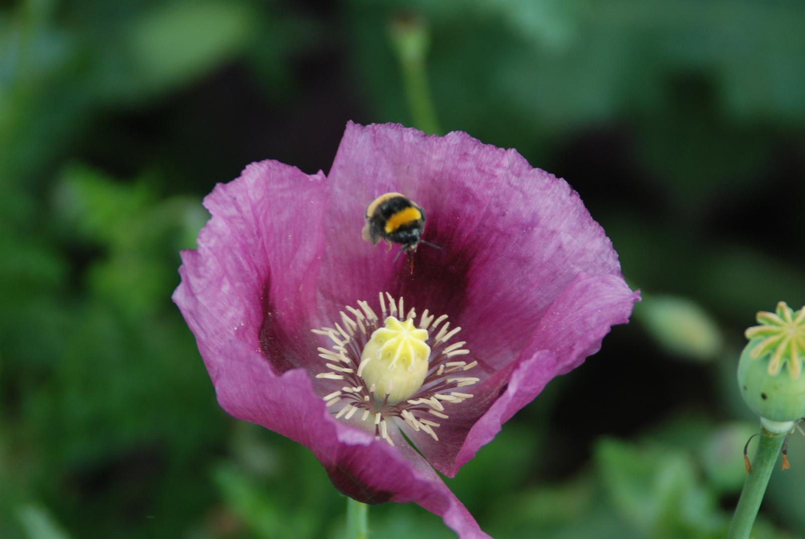 Hummel über der Blüte