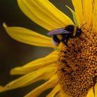 Hummel und Sonnenblume