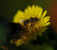 Hummel vertreibt kleine Biene