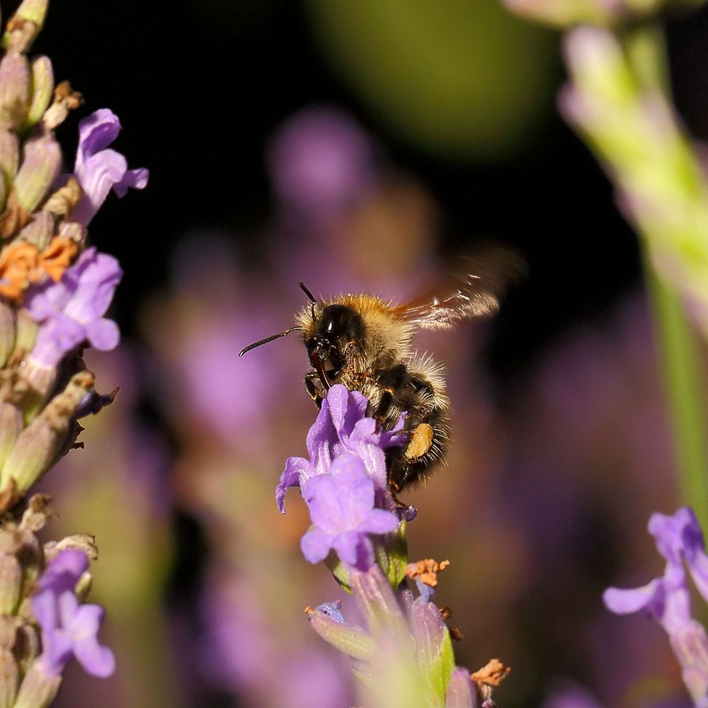 Hummel/Biene an Lavendel (II)