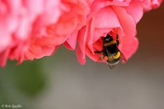 Hummelchen im Rosenbeet