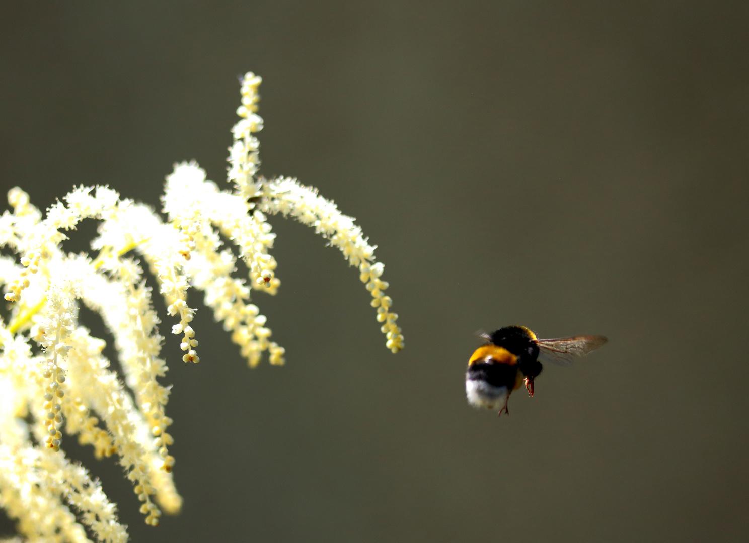 Hummeln können doch fliegen