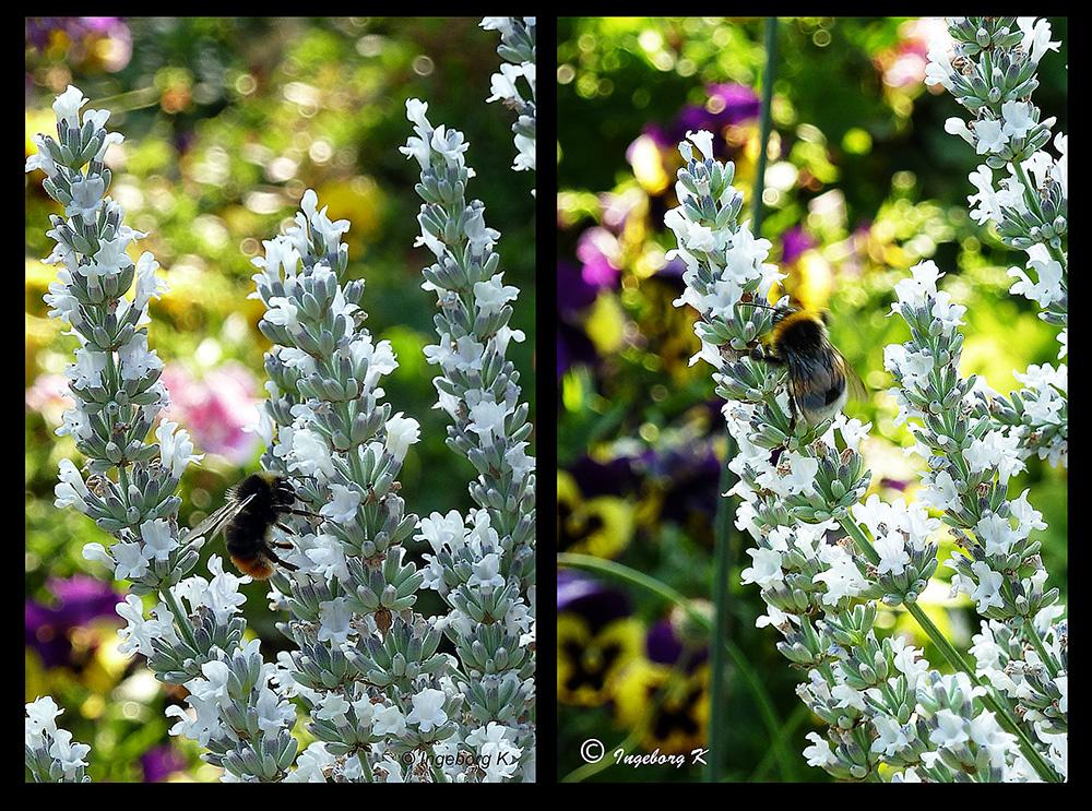 Hummeln und Bienen finden reichlich Nahrung auf dem Silberlavendel