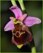 Hummelragwurz - Ophrys holosericea
