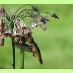 Hummingbird visiting Sicilian Honey Garlic