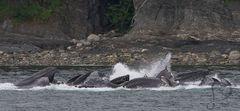Humpback whales, Bubble Net Feeding