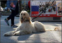Hund Afghane