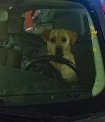 Hund am Steuer das wird teuer