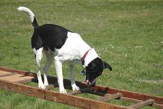 Hund auf Leiter: Alex von der Seite....