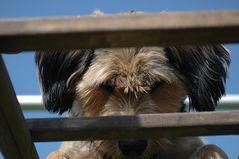 Hund auf Leiter: Mogli