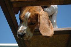 Hund auf Leiter: Nils
