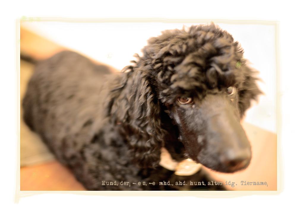 Hund, der; -[e]s, -e [mhd., ahd. hunt, alter idg. Tiername;