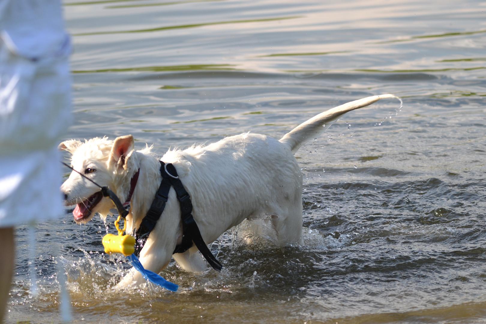 Hund kommt nach einem kühlen Bad aus dem Wasser