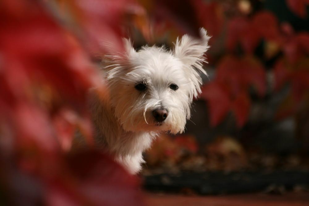 Hund weiß - Weinlaub rot